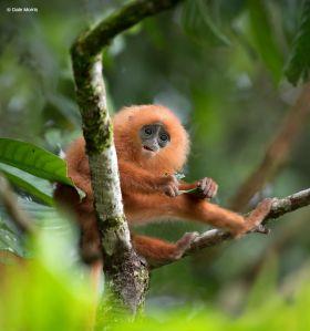 Red Leaf Monkey