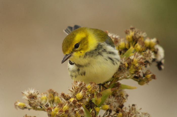 Black-throated Green Warbler, Clay Taylor