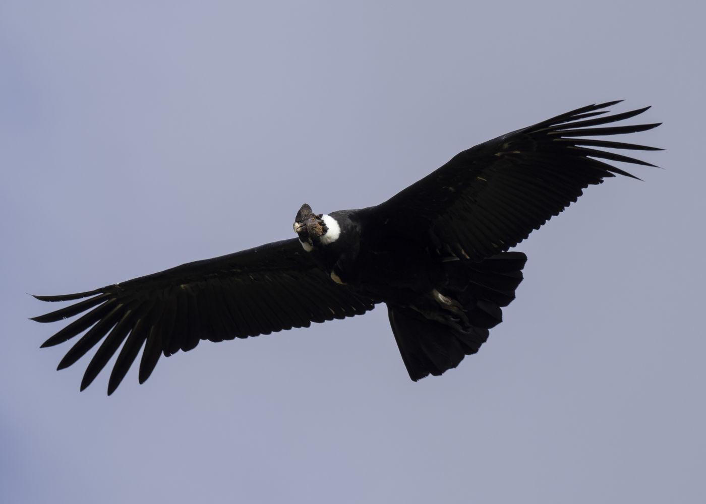 Ecuador: The Andean Condor