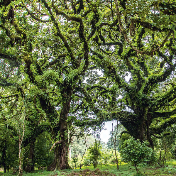Äthiopien tree
