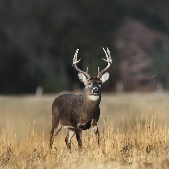 Spotting Scopes Tips Hunting identify landmarks, Whitetail Buck Deer, walking through field in the Appalachian Mountains
