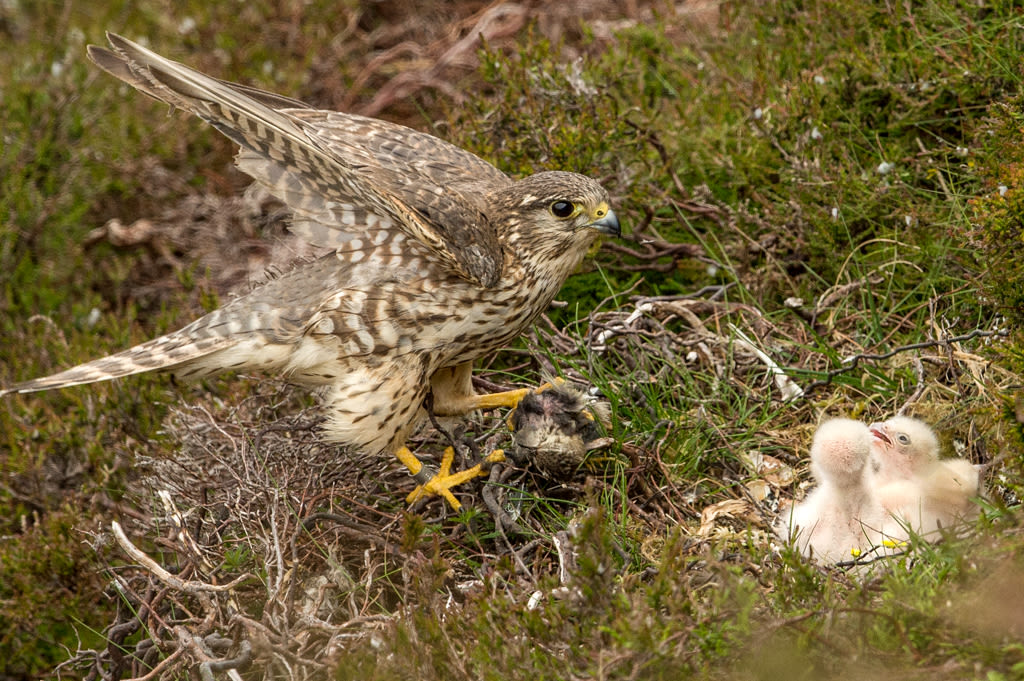 Female Merlin at nest with prey for chicks