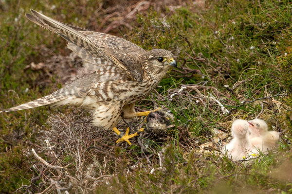 !!! Surveying and monitoring birds B/ - Female Merlin at nest with prey for chicks