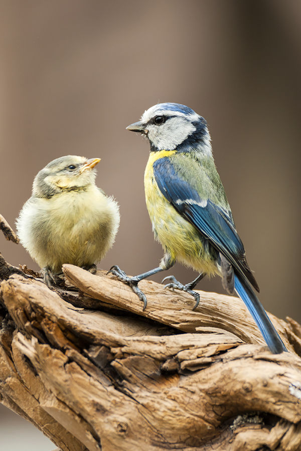 Always hungry – young birds and their (exhausted) parents B/ - Blaumeise 5 LK