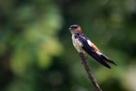 red-rumped swallow, Western Ghats
