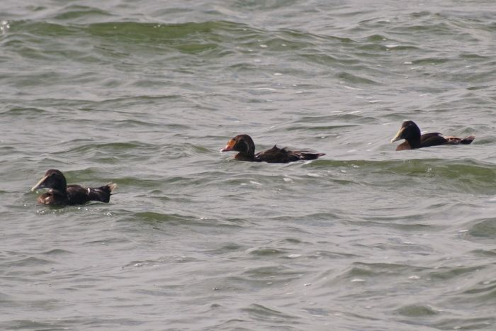 The yellow bill lobes and small 'sails' reveal the presence of the King Eider.