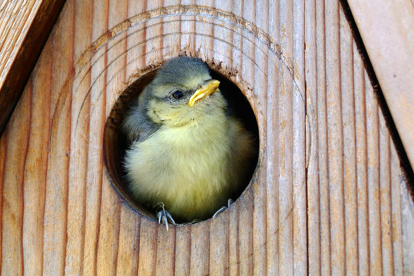 Always hungry – young birds and their (exhausted) parents B/ - Blaumeise Khil3