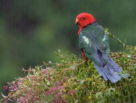 australian king parrot aus
