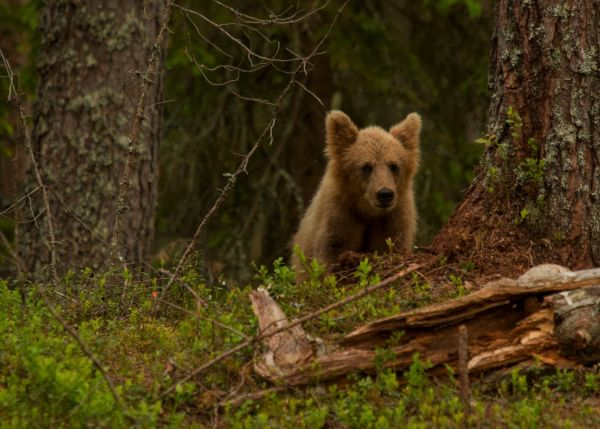 Bear Wild Sweden