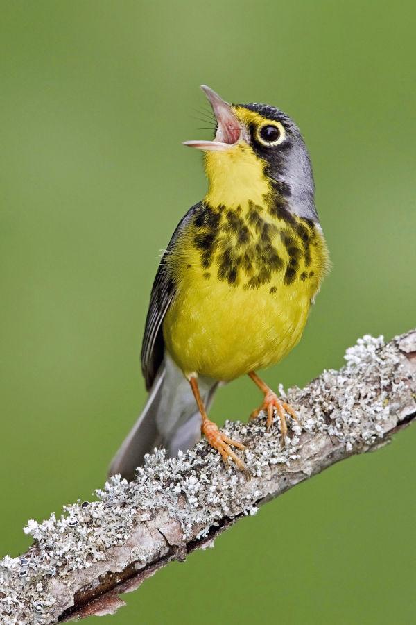 Bird Canada Warbler ID763882