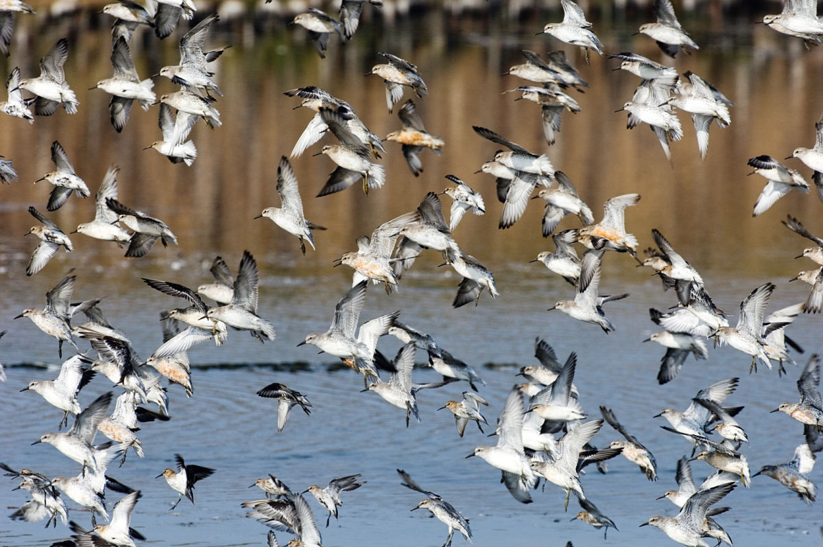 Birds on a lake Miracle of Migration ID 1247879