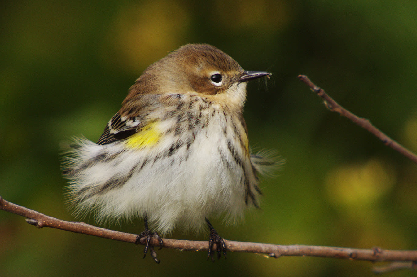 Yellow-rumped (Myrtle) Warbler, Clay Taylor
