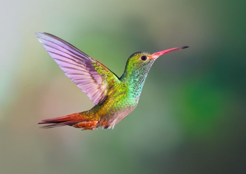 Rufous-tailed Hummingbird ID 1576004