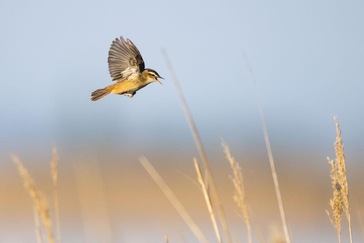 #gobirdingvlogs by Leander Khil B/ - #gobirdingvlog Episode 7: Spring Bird Sounds Schilfrohrsänger by Leander Khil