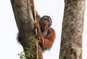 Orangutan on big tree Borneo