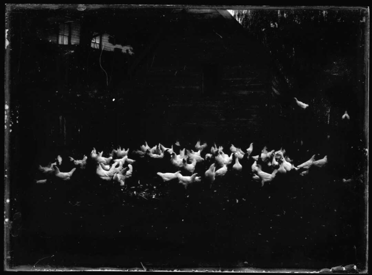A dark image taken at night showing a large flock of white chickens.