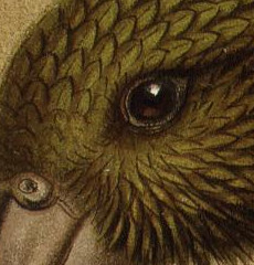 Detail of a painting of a kea, focused on the eye.