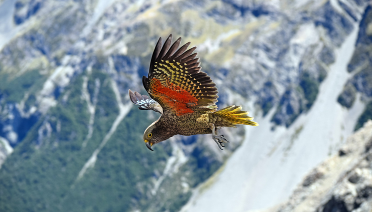 Kea flying in the mountains