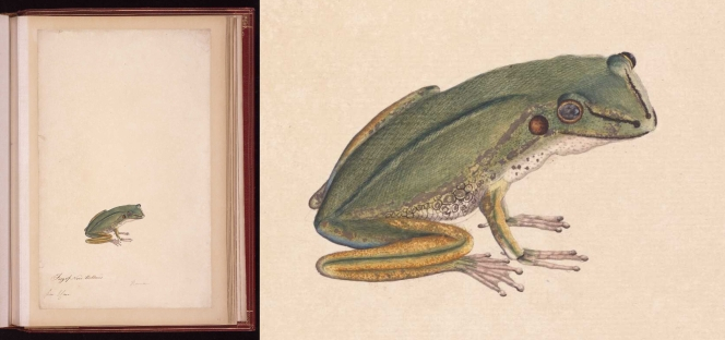 A watercolour and ink image of a frog