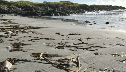 Tiree beach with lots of kelp and sticks