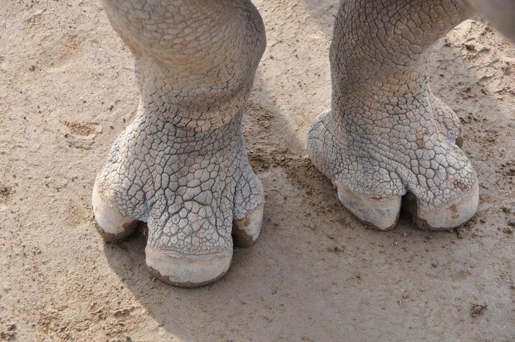 Rhino feet.