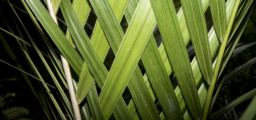 Nikau frond leaves woven into a natural pattern.
