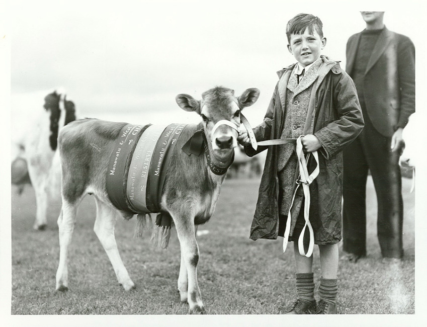 A 'Calf Club' champion, Manawatū A&P Show. A boy holds the halter of his calf which is festooned with ribbons.  [Calf Club champion](/files/schools/hm08-calf-club-champion-english.mp3)