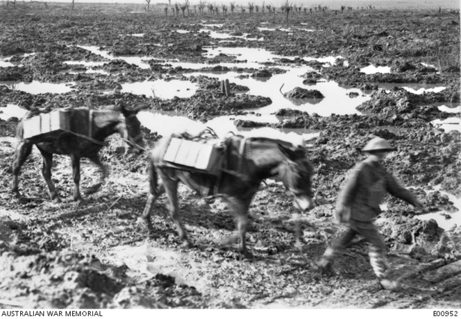 Mule transport with the 3rd Division following a 'corduroy' track near Zonnebeke, in the Ypres Sector.