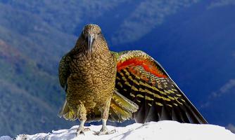 Kea, New Zealand Alpine parrot.