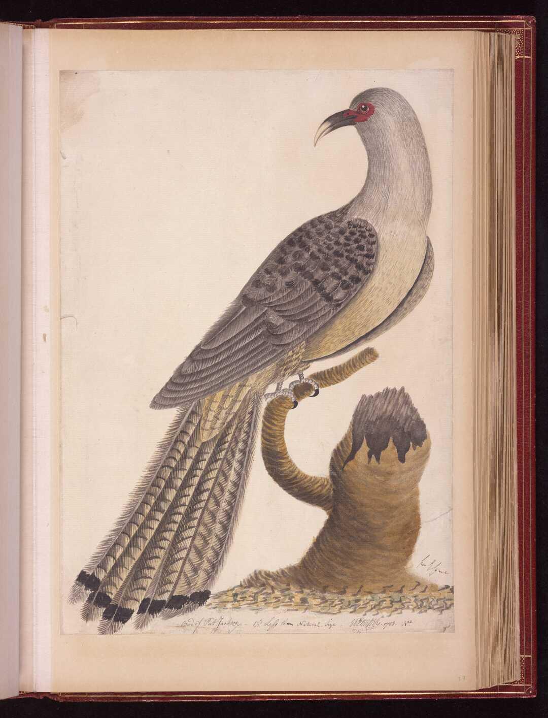 Bird of Port Jackson 1/3 less than Natural Size