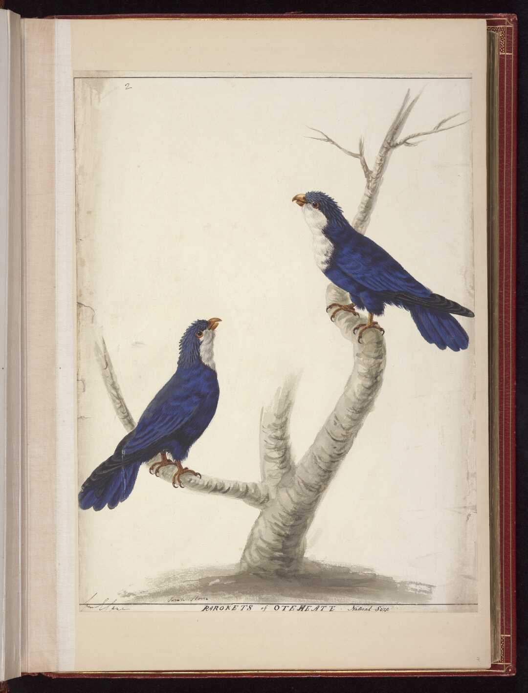 Parokets of Oteheate Natural Size,ca 1785