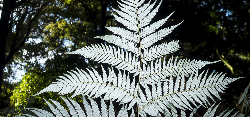 Photograph showing the underside of a silver fern.