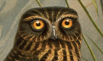 Detail of Morepork, Spiloglaux novae-zealandiae and Laughing owl.