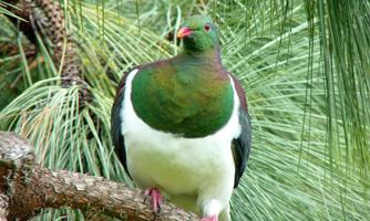 Green and white kereru bird perching in green foliage