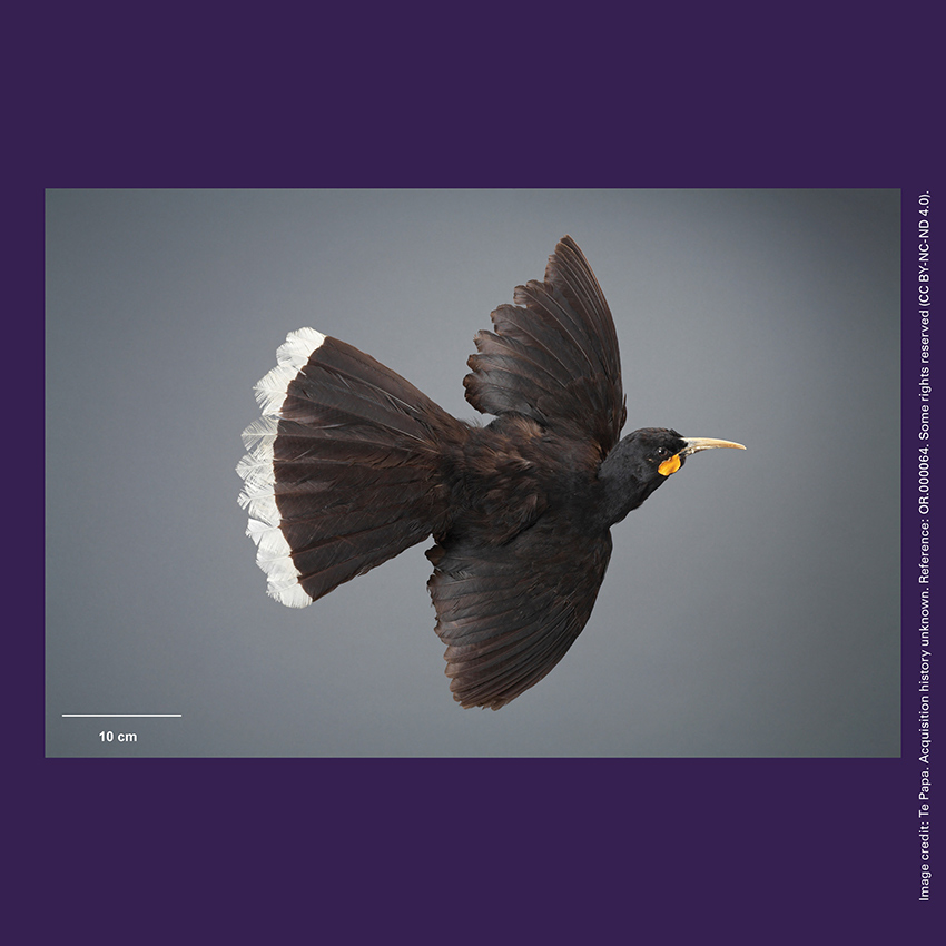 Front of curiosity card TMCC9 with an image of a huia (Heteralocha acutirostris) bird specimen
