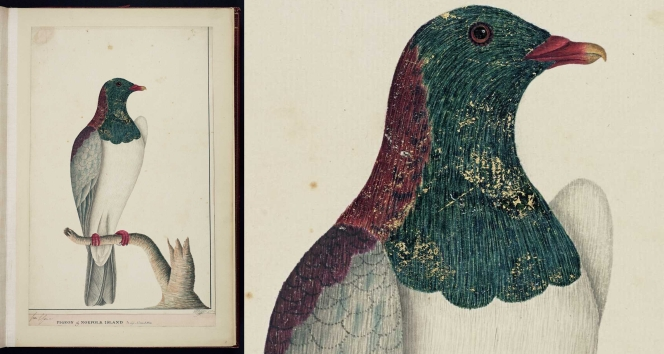 Raper, George 1769-1797: Pigeon of Norfolk Island / Geo Raper 1790. Watercolour, gold paint and ink on laid paper, 460 x 310 mm. Alexander Turnbull Library Ref: E-327-f-001