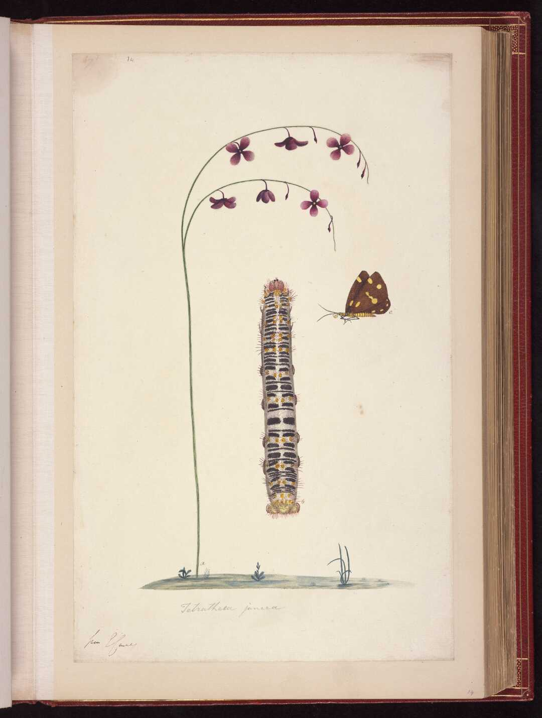flower, caterpillar and Spotted moth, nyctemera amica