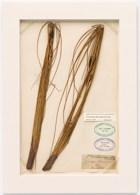 A specimen of pīngao collected by Banks and Solander, botanists on the *Endeavour's* voyage to Aotearoa, 1769–1770.  [Pīngao](/files/schools/hm88-pingao-english.mp3)