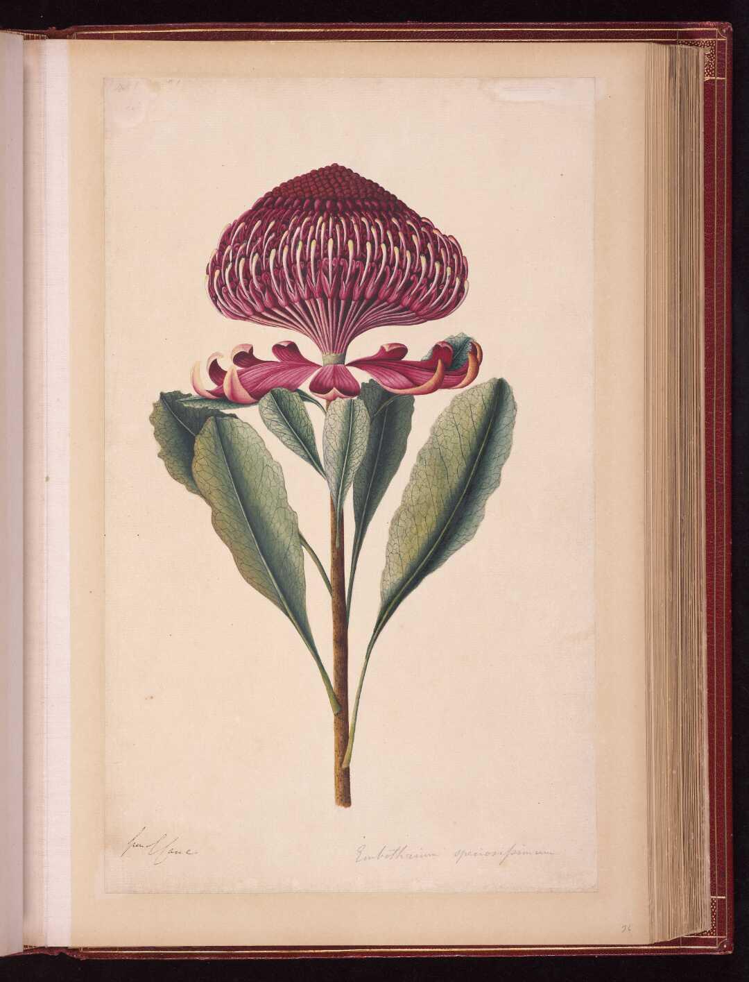 Embothrium speciosiformum