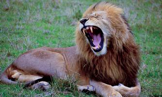 A Lion Roaring.