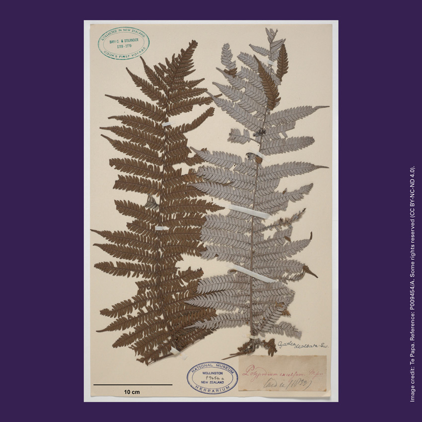 Front of curiosity card TMCC8 with an image of the silver fern (Cyathea dealbata) specimen collected by Joseph Banks and Daniel Solander