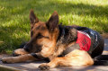German shepherd with service dog vest