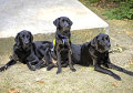 Three generations of service dogs