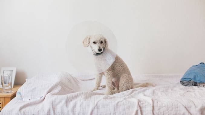 Dog with cone on bed.