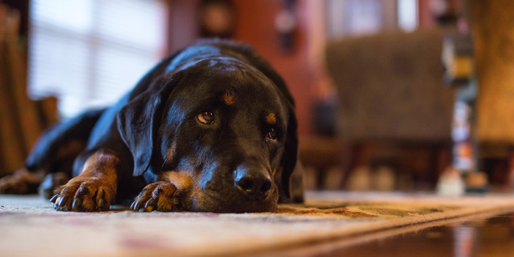 A black lab lies on a carpet and looks longingly off-screen