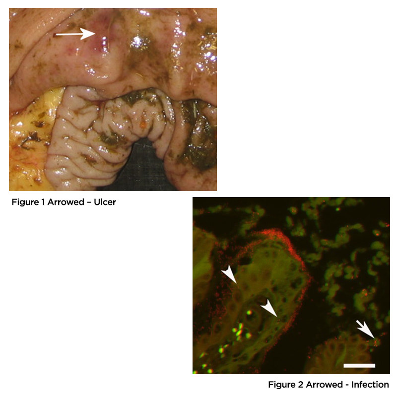 Ulceration of the Horse's Gastro-Intestinal Tract
