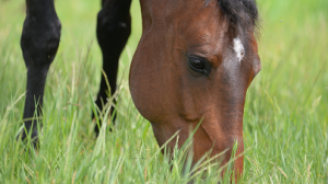 Feeding horses with a propensity for weight gain