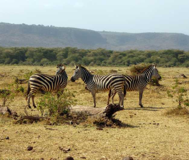A dazzle of zebras strolling near the escarpment of Great Rift Valley in Lake Manyara National Park