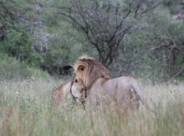 A lion and lioness relaxing amidst the lovely scenery of Tarangire national park