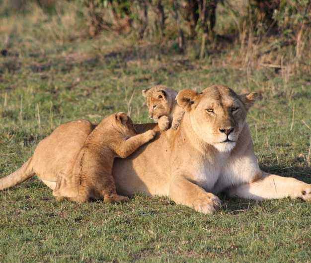 Lion cubs making the mamma lioness their playground, Serengeti National Park